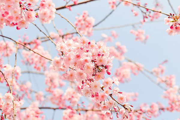 cherry-blossom-viewing-attention_01